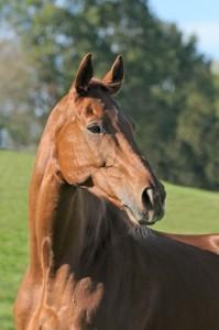 Hannoveraner / Hanoverian horse